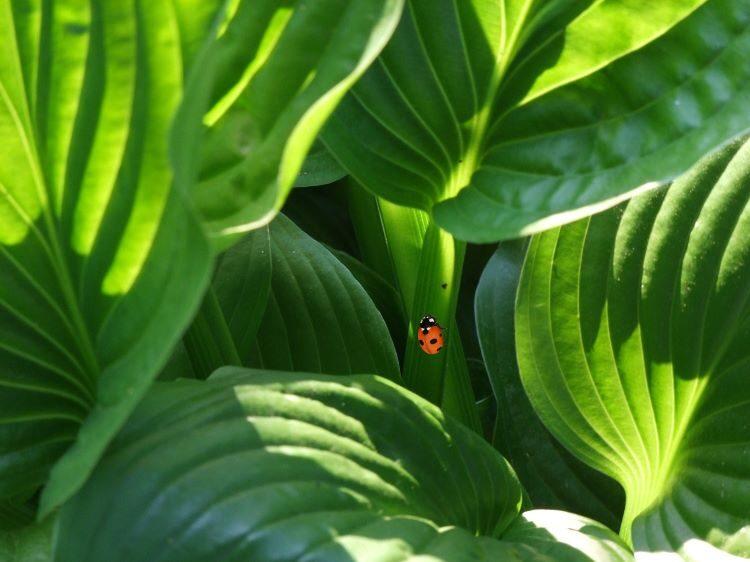 葉っぱにテントウムシ