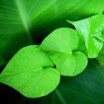 緑の葉っぱ ハート