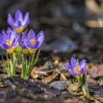 クロッカス 春の雨