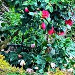 赤い椿と白い椿