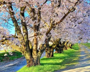 2021年の桜並木