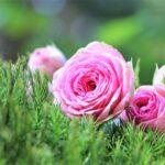 ピンクのバラと緑