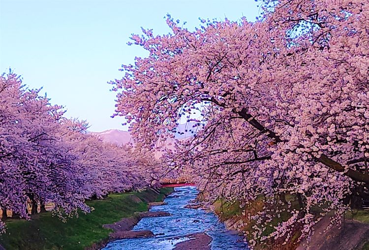2021年の桜