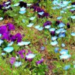 青い花とビオラ