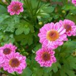 小さなピンクの菊