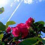 青い空に伸びる赤いバラ