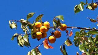 秋の空と柿の木